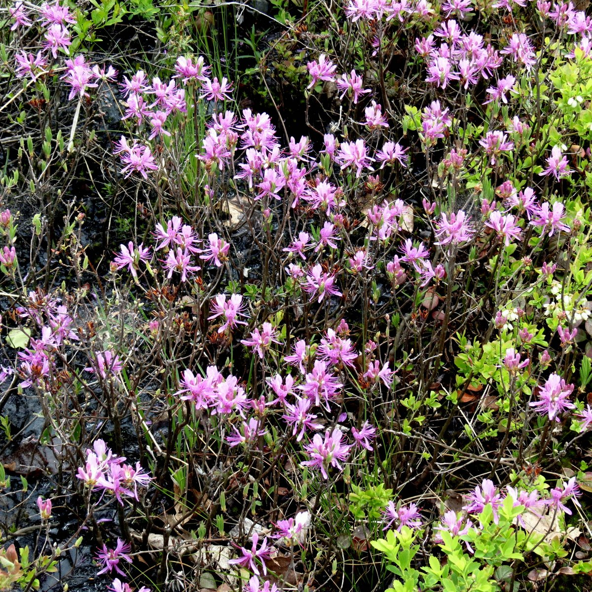 the rhodora by In 1 may, when sea-winds pierced our solitudes,: i found the fresh rhodora in the woods, spreading its leafless blooms in a damp nook, to please the desert and the sluggish brook.