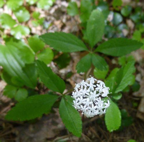 7. Dwarf Ginseng Blossoms