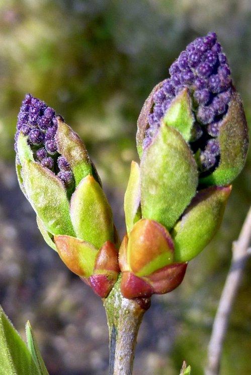 7. Lilac Buds