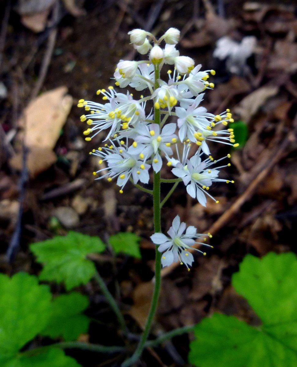 9. Foamflower Blossoms