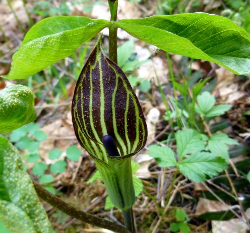 9. Jack in the Pulpit