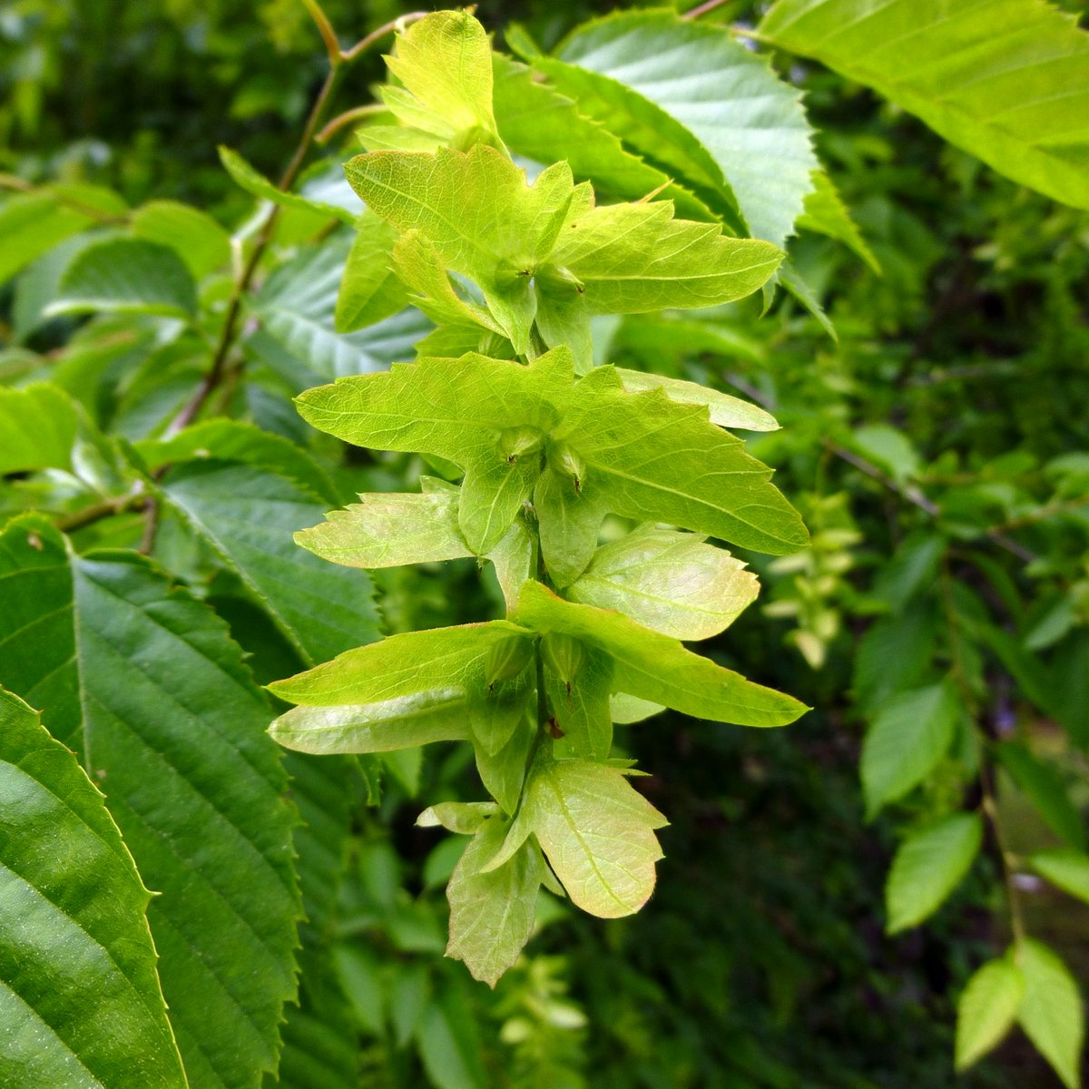 american hornbeam carpinus caroliniana trees are fruiting long ...
