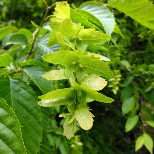 1. American Hornbeam Fruiting