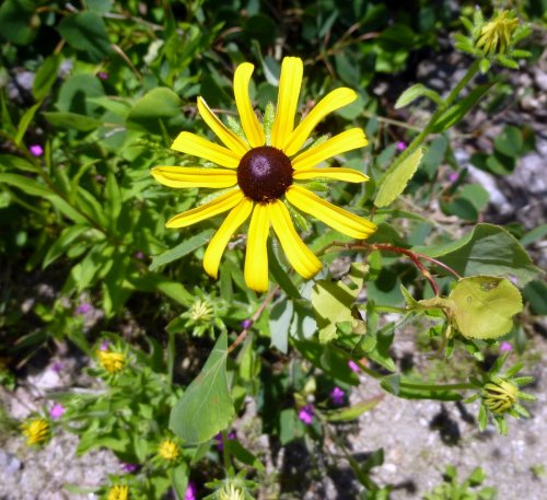1. Black Eyed Susan