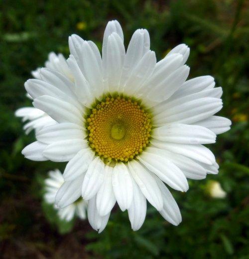 10. Oxeye Daisy