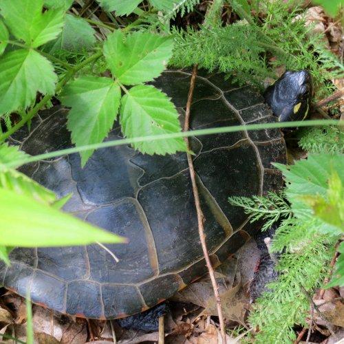 10. Turtle