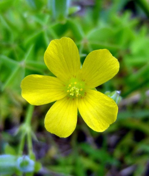 10. Yellow Sorrel