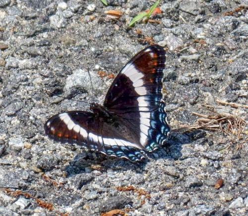11. White Admiral Butterfly aka Limenitis arthemis