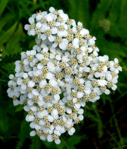 11. White Yarrow
