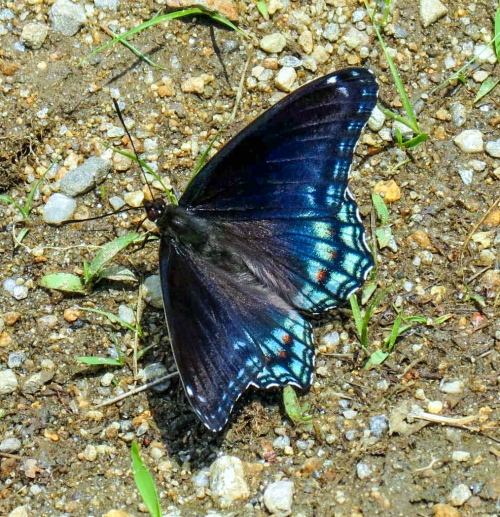 12. Red Spotted Purple Butterfly aka Limenitis arthemis astyanax