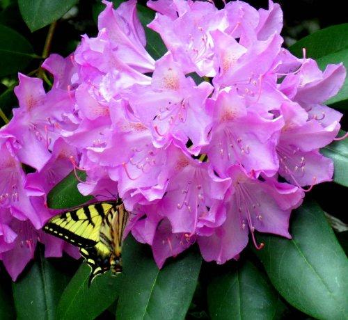 12. Tiger Swallowtail on Rhodie
