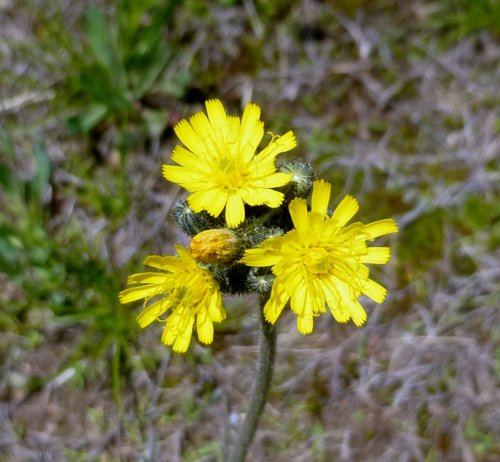 12. Yellow Hawkweed