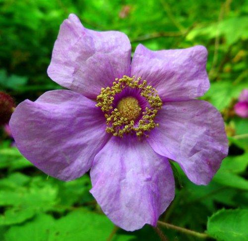 13. Flowering Raspberry