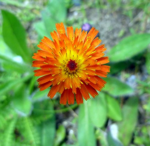 13. Orange Hawkweed