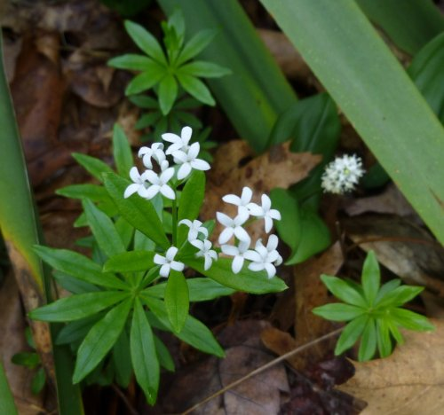 13. Sweet Woodruff