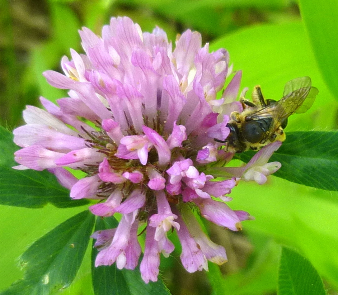2. Bee on Red Clover