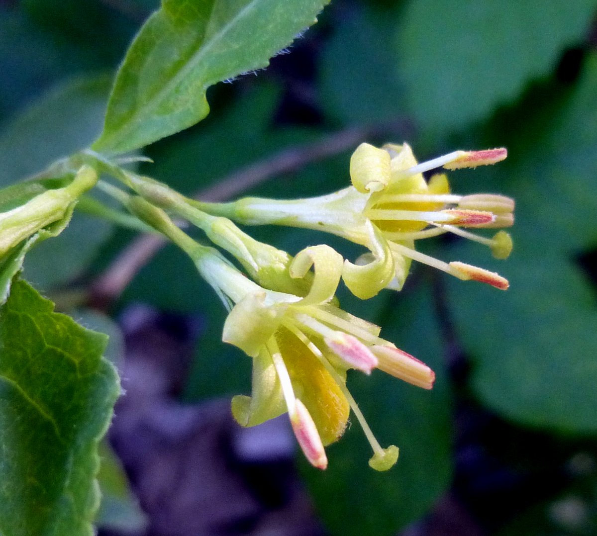 2. Bush Honeysuckle