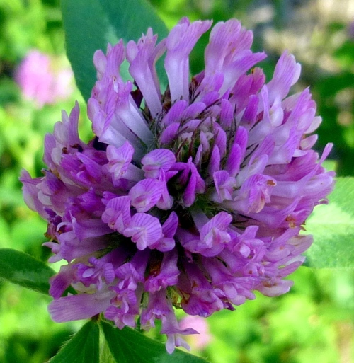 3. Red Clover