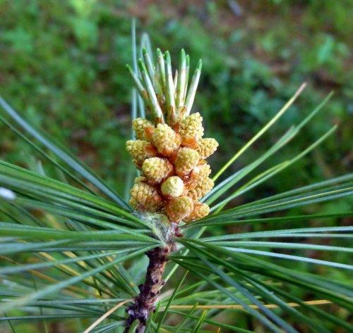3. White Pine Pollen Bearing Cones