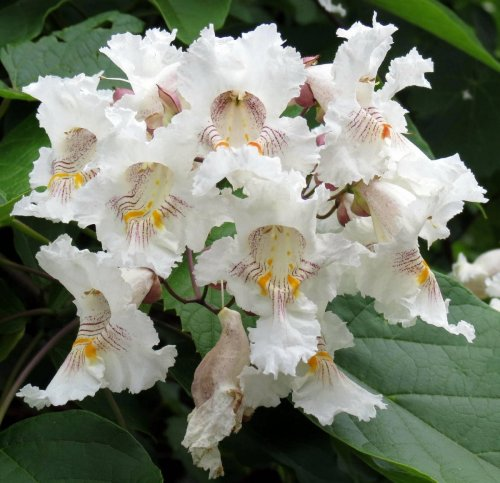 4. Catalpa Blossoms