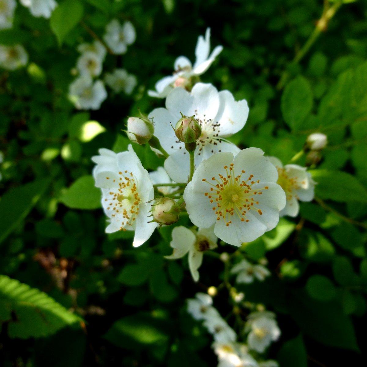 Image result for Multiflora rose