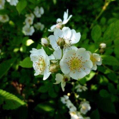 4. Multiflora Rose