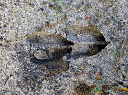 5. Deer Tracks