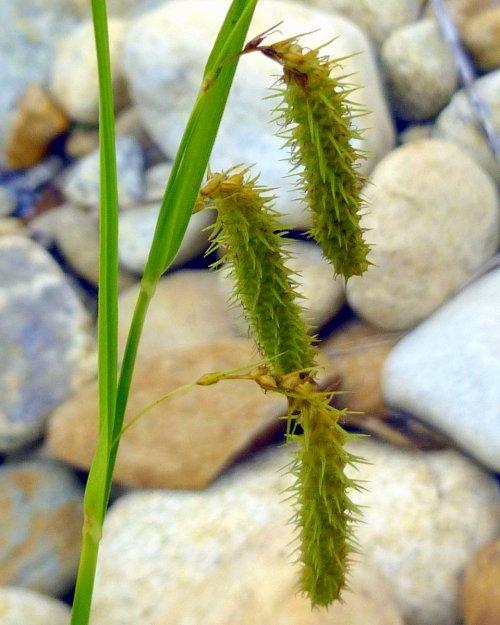 5. Fringed Sedge Flowers Carex crenita