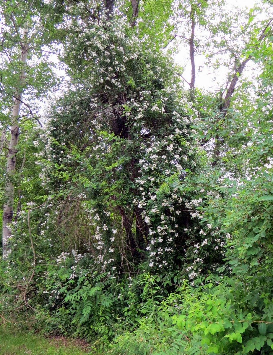 5. Multiflora Rose in Tree
