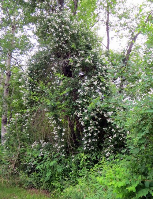 5. Multiflora Rose in Tree