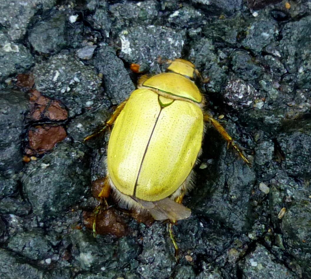 6. Goldsmith Beetle aka Cotalpa lanigera