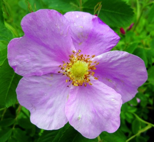 6. Rugosa Rose
