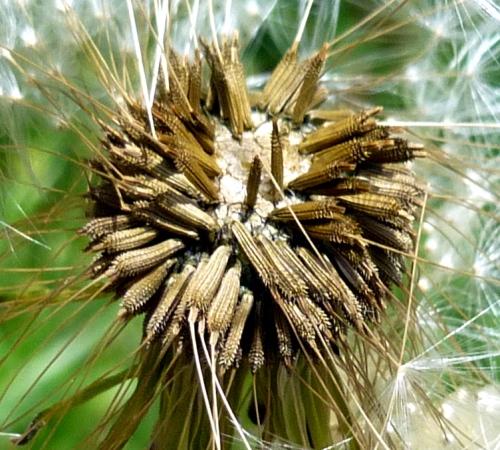 7. Dandelion Seed Head