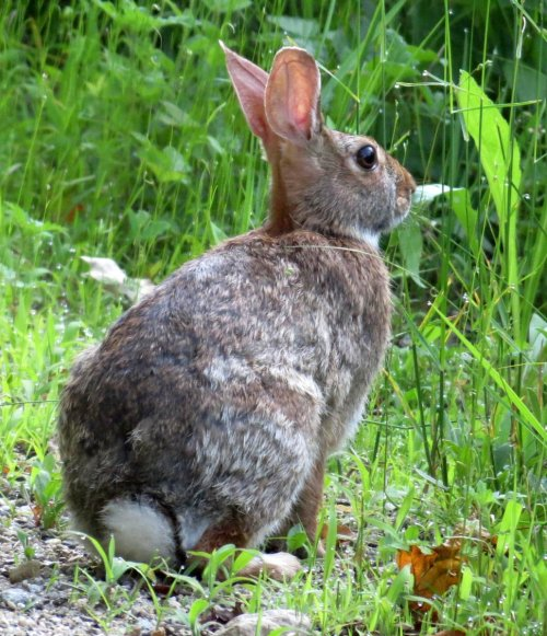 7. Eastern Cottontail Rabbit