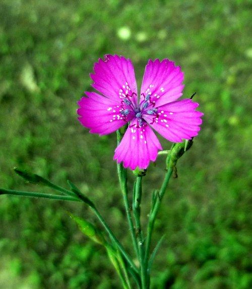 8. Maiden Pink