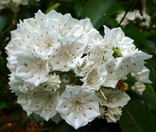 8. Mountain Laurel Flowers