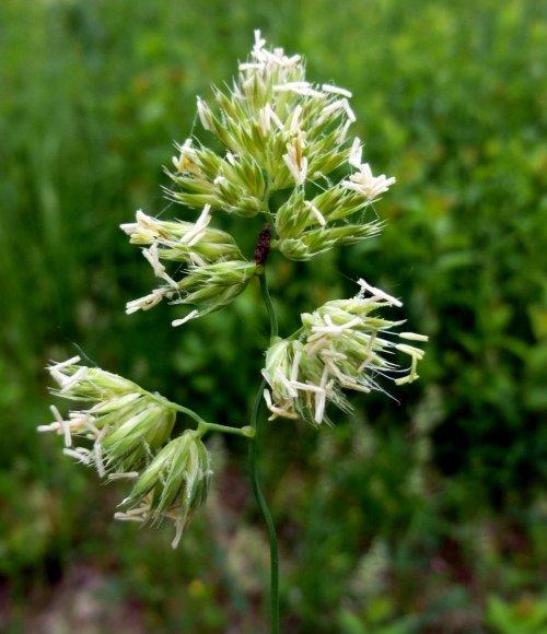 8. Orchard Grass