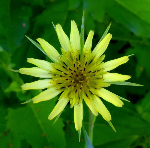 9. Yellow Goat's Beard