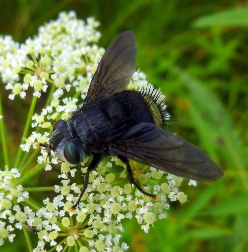 1. Belvosia borealis Tachinid Fly
