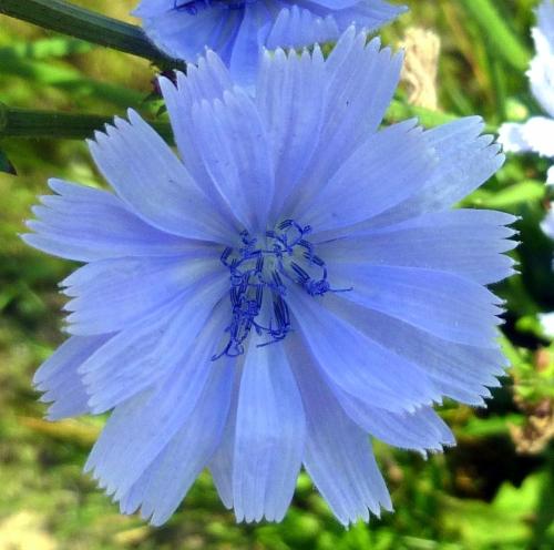 1. Chicory