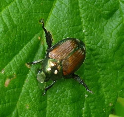 10. Japanese Beetle