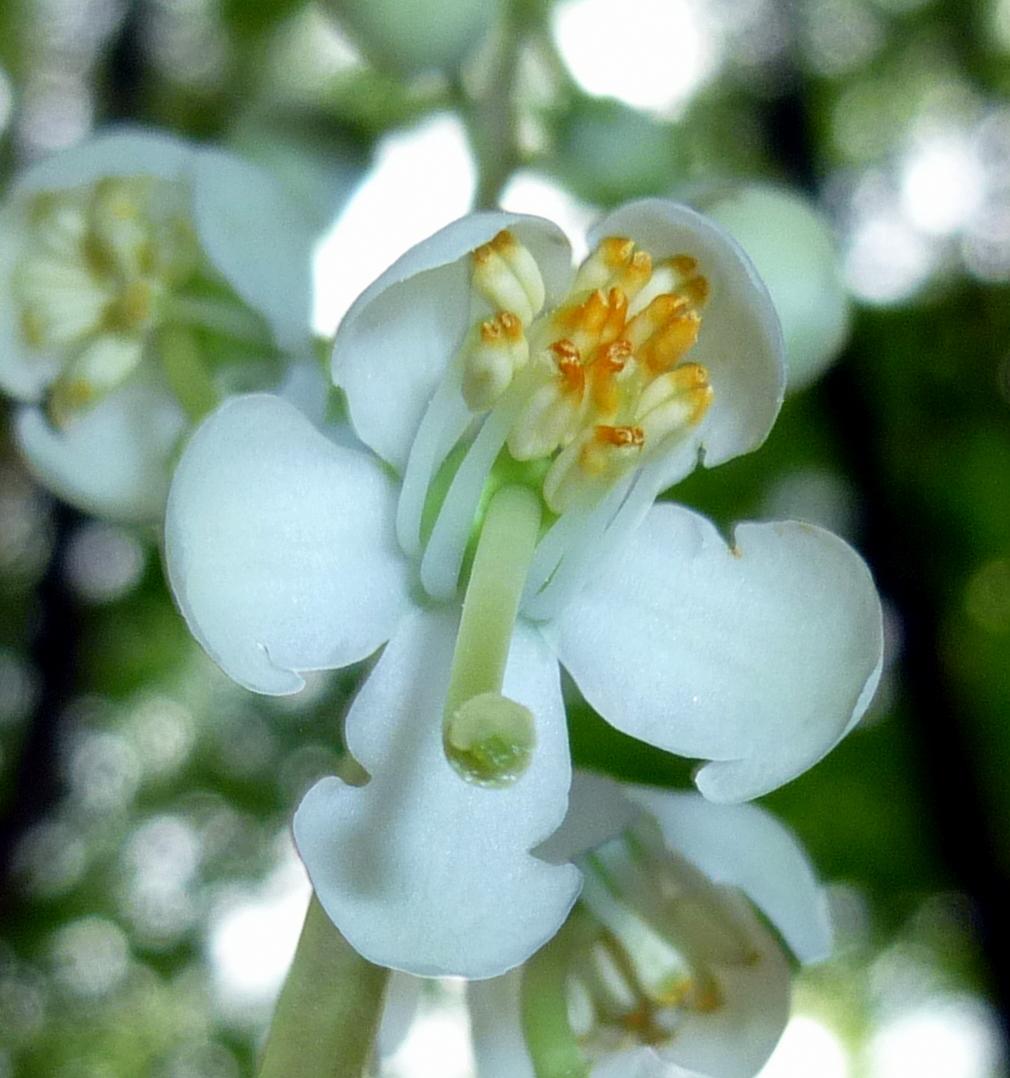 10. Shinleaf Blossom