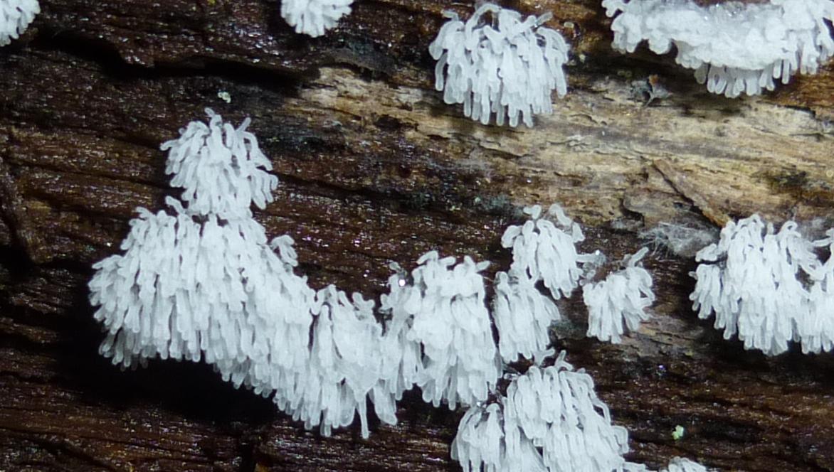 10. White Finger Slime Mold