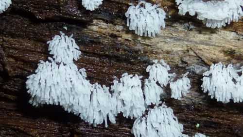 10. White Finger Slime Mold
