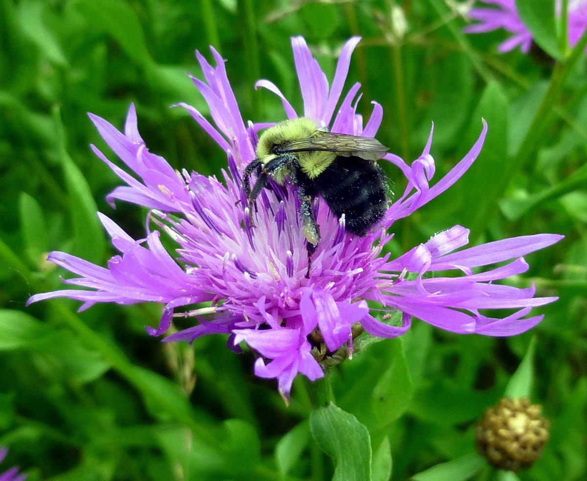 11. Bee on Knapweed