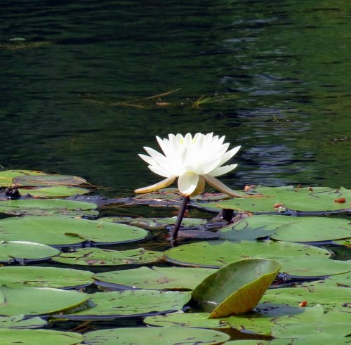 11. White Water Lily 2