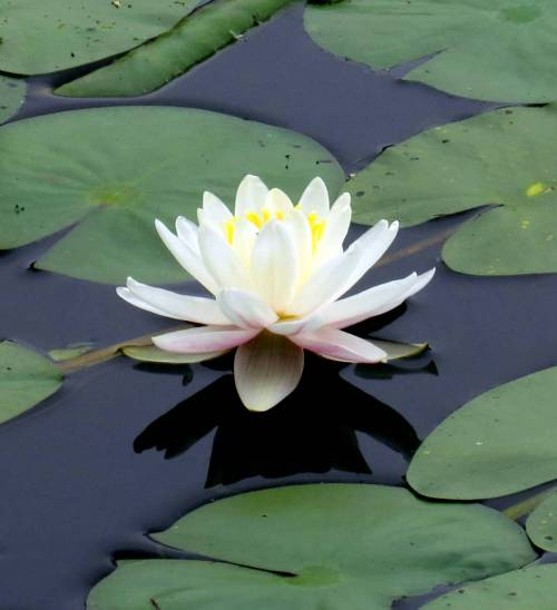 12. Fragrant White Water Lily