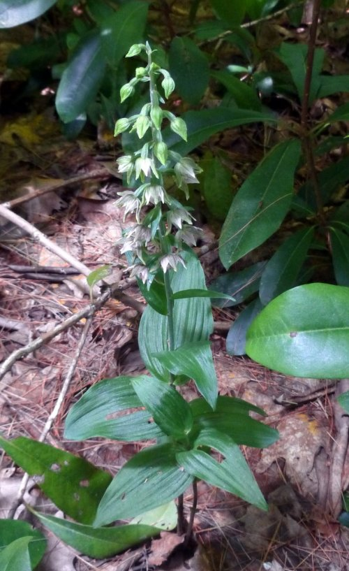 13. Broad Leaved helleborine aka Epipactis helleborine