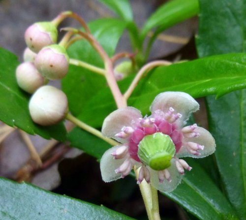 13. Pipsissewa Flower