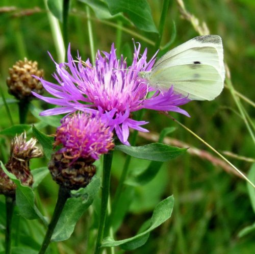 14. Butterfly on Knapweed 2